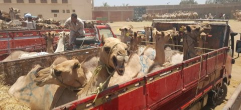 Animals' Angels y el mercado de camellos Birqash en Egipto